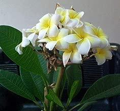 1 Grafted Plumeria Dwarf Plant, Frangipani, Temple Tree, Pagoda Tree, Flower Color: White-Yellow
