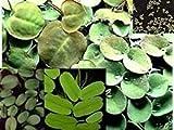 Selección de plantas flotantes 20-25, 4 variedades, contra algas