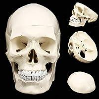 頭蓋骨モデル、人体解剖学医学解剖モデル解剖頭人間の頭蓋骨用品教育解剖19.5 * 15 * 21センチ学びます