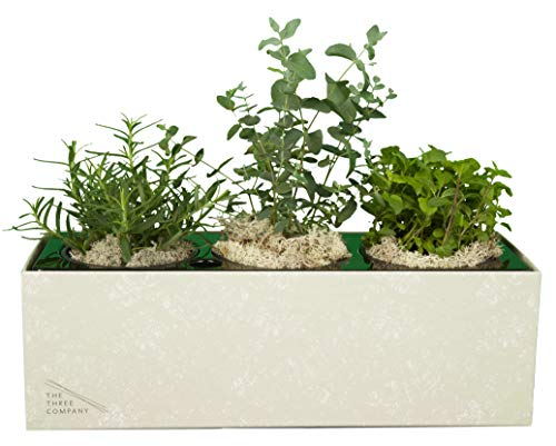 """The Three Company Live Aromatic Herb Health Trio in Self-Watering Planter (Mint, Rosemary, and Thyme), 14.25"""" Long x 5"""" Wide x 4"""" Tall, Green"""