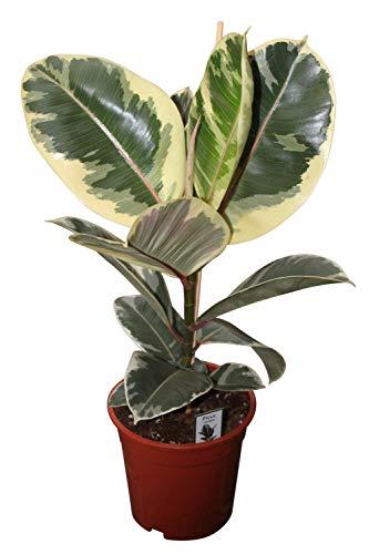 Zimmerpflanze für Wohnraum oder Büro – Ficus elastica variegata – bunter Gummibaum. Höhe ca. 50cm