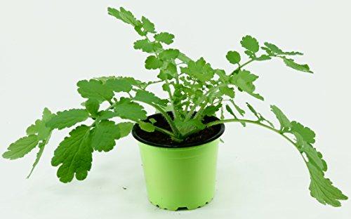 Schöllkraut Pflanze, Warzenkraut, Heilpflanze, Goldwurz