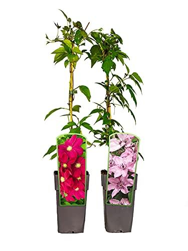 2er Sortiment Clematis MIX Rot-Violett Kletterpflanzen Hoshi no Flamenco Hagley Hybrid großblütig...