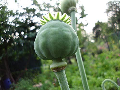 2000 frische und potente Samen von echter Schlafmohn - Papaver somniferum - Blaumohn Schlafmohnsamen poppy seed