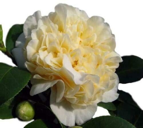 1 Live Plant Jurys Yellow Camellia Japonica Quart...