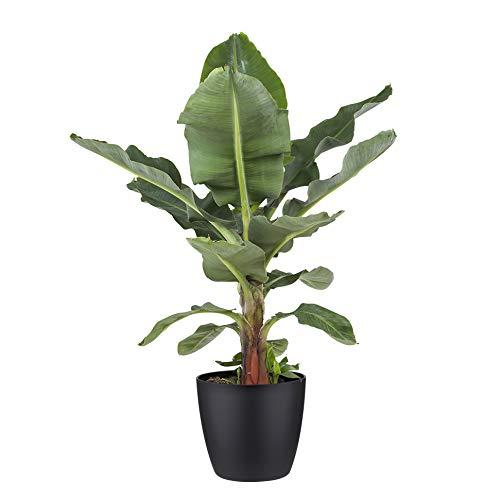 Botanicly Zimmerpflanze – Exotische Bananenpflanze - Obstbaum mit schwarzem Übertopf– Höhe: 80 cm – Musa Dwarf cavendish