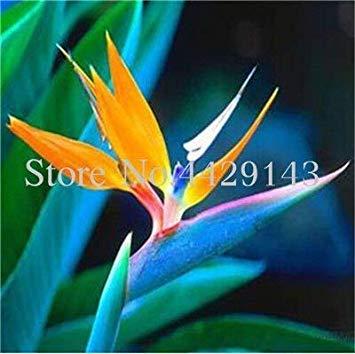 Potseed . 100 Stück Strelitzia Garten Stauden Blumen-Paradiesvogel Pflanze Strelitzia Indoor Orchideen-Blume blühende Pflanze: 13