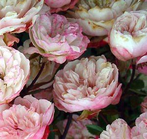 Rosa chinensis Angel Wings | Rose Miniature | 10_Seeds
