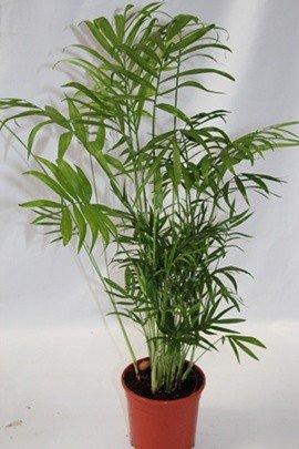 Chamadorea (Maceta 17 cm Ø) - Planta viva de interior