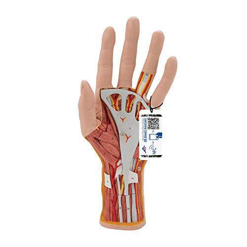 3B Scientific Menschliche Anatomie - Hand-Struktur-Modell, 3-teilig + kostenloser Anatomiesoftware - 3B Smart Anatomy