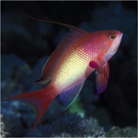 【海水魚/観賞魚/ハナダイ】 キンギョハナダイ ※オス ■サイズ:4cm± (2匹)