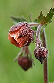 CROSO Germination Seeds ONLY NOT Plants: 25 Seeds Benoite Stream (Geum Rivale) G924 Water Avens Seeds Seas
