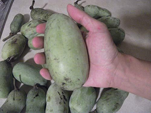 PLAT FIRM SEMILLAS DE GERMINACION: 50 Semillas: Pawpaw Tree Seeds, Asimina triloba,...