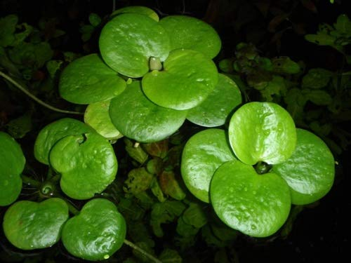 Limnobium laevigatum - Südamerikanischer Froschbiss - Schwimmpflanze für Aquarium und Teich