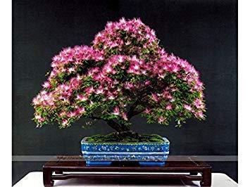 1 Originalpackung 5 Samen/Packung Alpenveilchen Samen, Blumensamen, Blütenpflanzen Indoor Balkon Bonsai