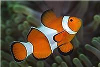 【海水魚/観賞魚/スズメダイ】 カクレクマノミ ※国産ブリード ■サイズ:3cm± (4匹)