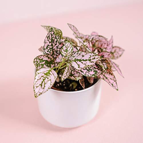 "SmartMe Flowering Plant - 2"" Pink Polka Dot Plant - Hypoestes phyllostachya. c8"