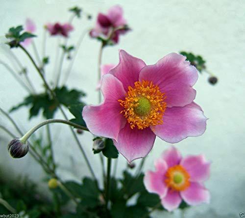 SANHOC Samen-Paket: Anemone Samen, japanische Fingerhut, Herbst-Anemone