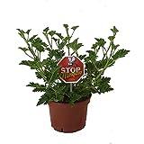 Geranio Antimosquitos Planta Natural Pelargonium Citrodorum o Geranio Limón