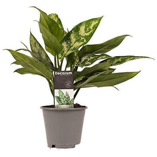 Planta de interior de Botanicly – Aglaonema – Altura: 25 cm – Aglaonema commutatum Maria Christina