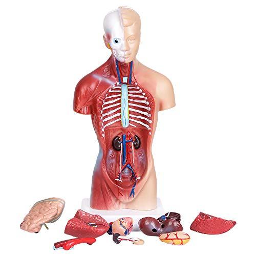 Varadyle Modelo De Anatomía Del Cuerpo Del Torso Humano Del Corazón Esqueleto Del Cerebro Escuela De Medicina Educativo 11Pulgadas