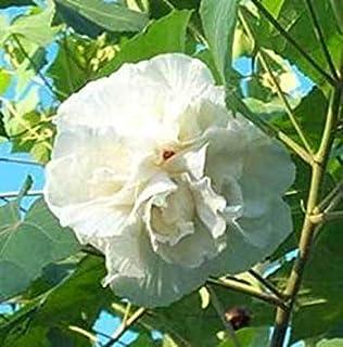 Amazon.fr : hibiscus - Haies et arbustes / Plantes d ...