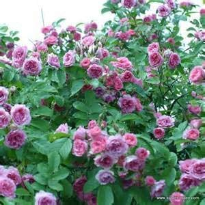 potente para casa CUSHY seedusa Rosa rugosa Pink flower 25 semillas (rosa japonesa)