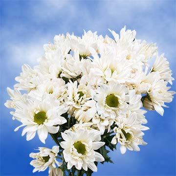 GlobalRose 36 Fresh Cut White Chrysanthemum Daisy Flowers - Fresh Flowers For Birthdays, Weddings or Anniversary. from Globalrose