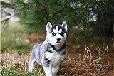 No Cachorro De Husky Siberiano En Blanco Y Negro sobre Marrón