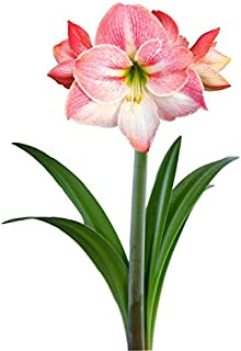 hippeastrum apple blossom amaryllis