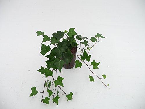 Efeu, Hedera helix Montgomery, Zimmerpflanze in Hydrokultur, 15/19er Kulturtopf, 20-30 cm