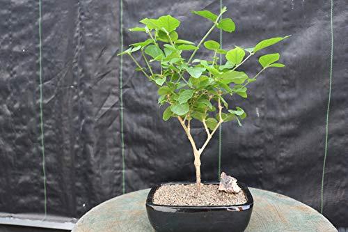 Flowering Arabian Jasmine Bonsai Tree