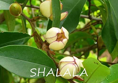 SANHOC 100pcs michelia rares Fleurs Chine FIGO Floraison Plante Vivace aromatique pour Un Entretien Facile bonsaïs Plante ornementale Cour: 3