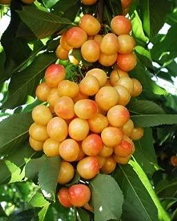 Rainier Cherry Tree - 2 Year Old Tree/4-5 Feet Tall
