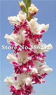 GEOPONICS Semillas: Multi-Color gladiolo de flores (No Gladiolo Bulbos), el 95% de germinación, bricolaje aeróbico en maceta, Rare gladiolo Bonsai Flor-120 PC: 18
