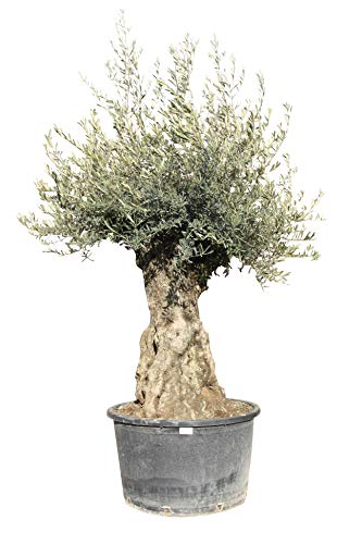 Olivenbaum Olea Europea winterhart, stammumfang 80/100cm, knorriger alte Stamm, Höhe ca.260cm