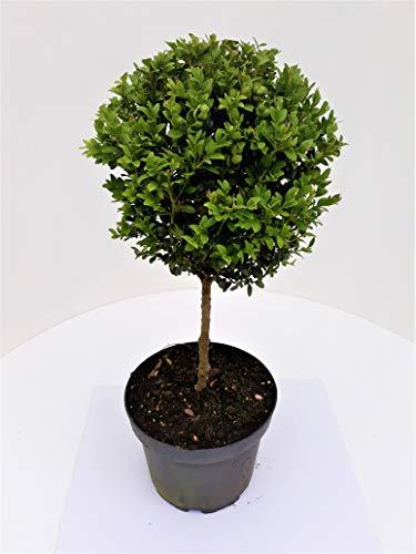 2 Stück Buchsbaum - Stamm, Höhe: 80 cm, Bonsai, Buxus, Formschnitt + Dünger