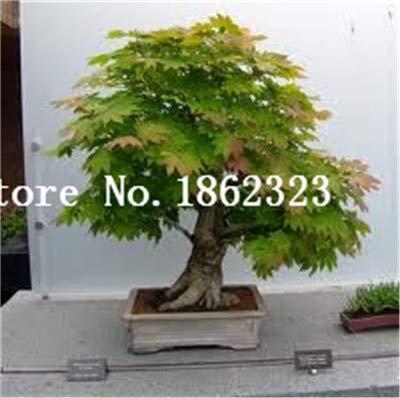 Shopmeeko Graines: Vente chaude! 30 pcs arbre d'érable Bonsa, Bonsaï d'érable bleu érable japonais Bonsa, plantes pour le jardin à la maison et Balcon, facile à cultiver: 10