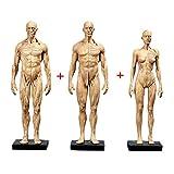 ZHANGYY Figura de anatomía Femenina y Masculina de 11 Pulgadas y Modelo de Hueso Muscular Masculino ...