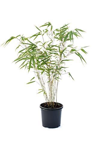 Bambus Fargesia rufa winterhart, horstig und schnell-wachsend, ideal als Sichtschutz 60-80 cm hoch