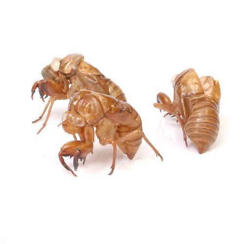 (昆虫)セミの抜け殻(5個) 沖縄・離島不可 タイム便・航空便不可