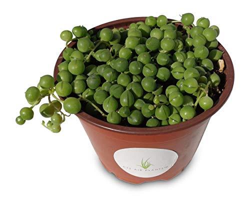 String of Pearls Succulents Senecio Rowleyanus (4 Pot)