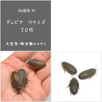 (生餌)デュビア(アルゼンチンモリゴキブリ) Mサイズ(50匹) 爬虫類 大型魚 餌 エサ [生体]