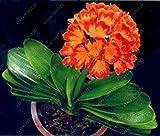 Vistaric Veri bulbi di clivia, piante di clivia, bulbi di fiori bonsai, (non semi di clivia), fiori perenni in vaso Radice bulbosa - 20 pezzi 7