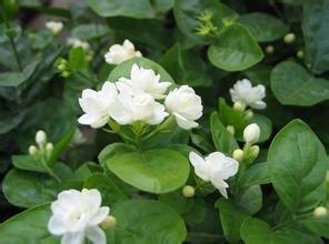 Schlussverkauf!!! Jasmin Blumensamen 50pcs / pack weiße Jasminsamen, duftende Pflanze arabisches Jasmin Samen - Arcis New