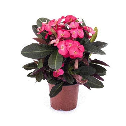 Euphorbia milii Zeus Red Succulent House Plant in a 11cm Pot Crown of Thorns