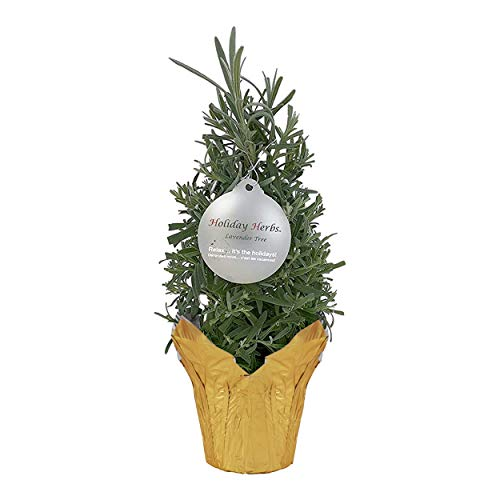 The Three Company Live Christmas Shaped Lavender Herb Tree (12' Tall), Perfect Tabletop Display Item
