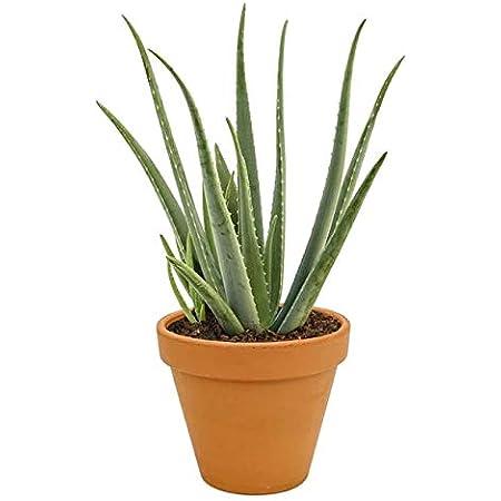 Aloe Vera Planta Natural en Maceta de Cerámica Aloe Barbadensis o Sábila