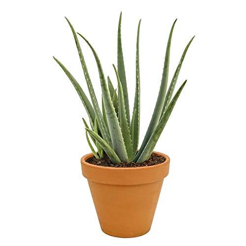 Aloe Vera Planta Natural...
