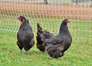 Electric Poultry Netting 164 Ft. Long X 48' High